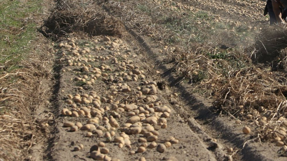 En A Limia se recogen más de 120 millones de quilos de patatas al año