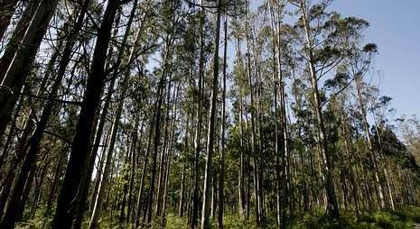 El mercado de la madera de pino y de eucalipto está operando con distinto signo.