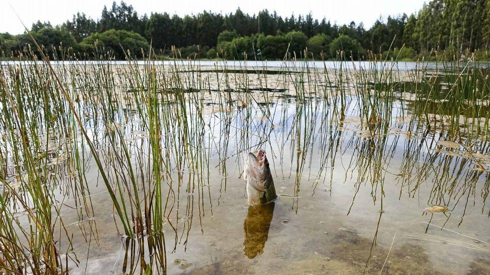 Detectan un lago de Guitiriz plagado de perca negra, una especie invasora