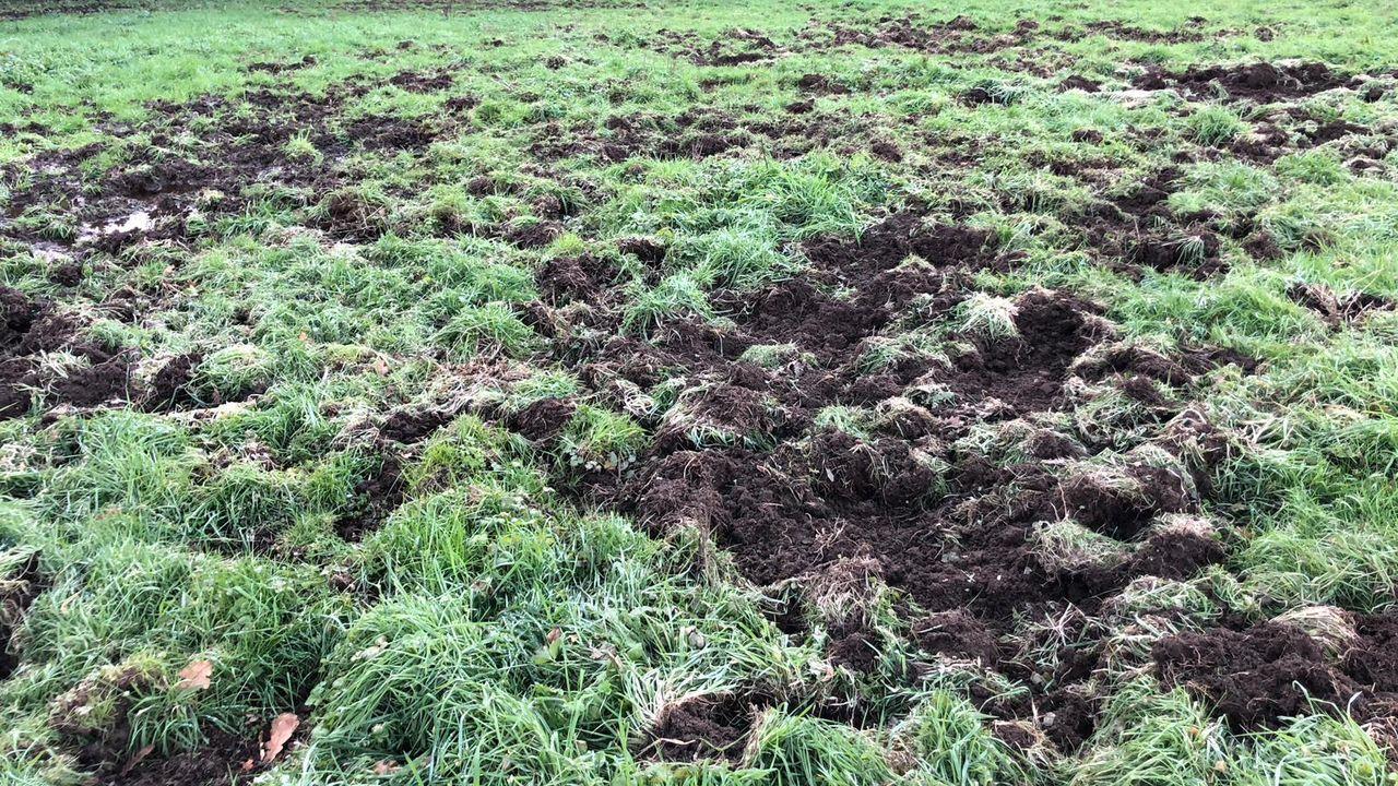 El jabalí suele levantar la hirba que crece en los prados, como se ve en la imagen