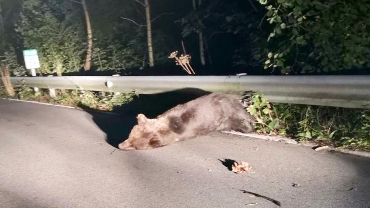 Oso atropellado en la carretera de Somiedo