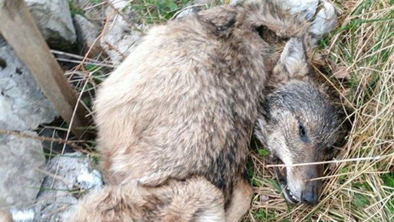 Lobo muerto en Asturias