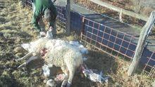 Oveja atacada por un lobo en Laviana
