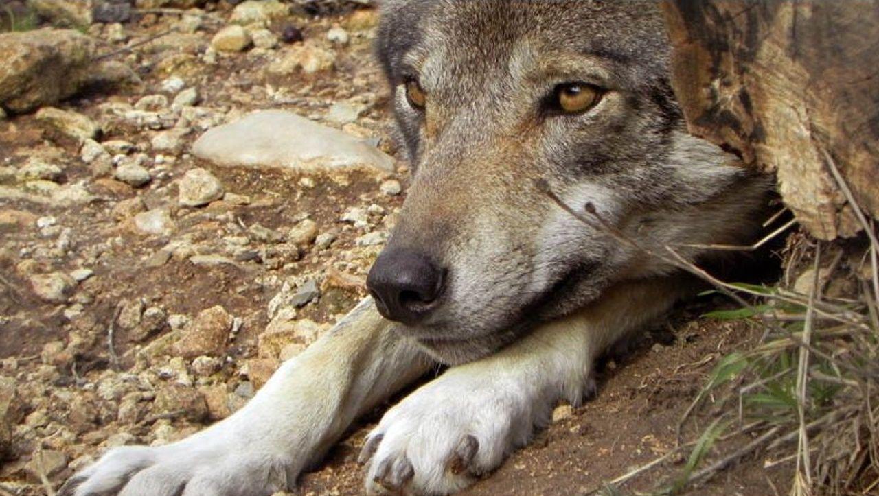 «Aquí los ganaderos se han acostumbrado a vivir con el lobo».Manuel Pérez, al frente del huerto, entrega las hortalizas una vez a la semana al Banco de Alimentos