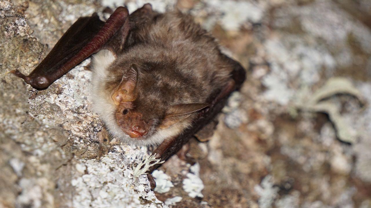 Foto de un ejemplar de Myotis myotis (morcego rateiro grande)