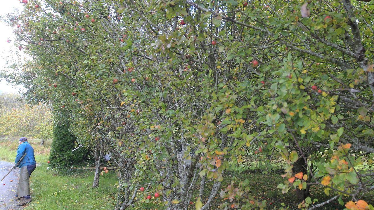Recogida de la aceituna en el municipio de Quiroga.Recogida de manzanas en Ortigueira, en foto de archivo