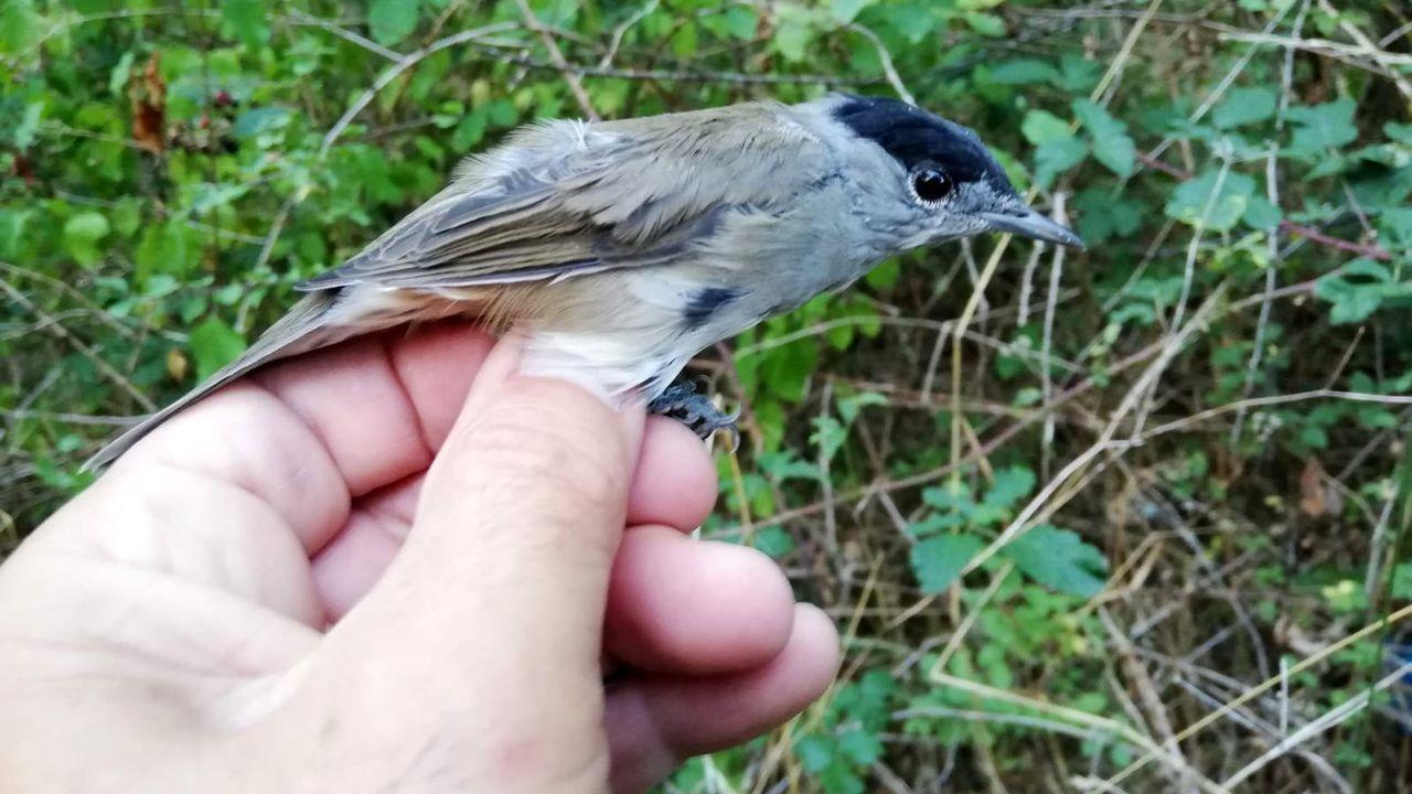 Curruca capirotada o papuxa das amoras (Sylvia atricapilla)