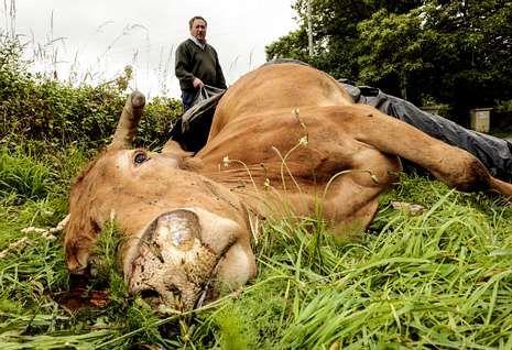 Esta vaca, preñada de un mes, murió como consecuencia de un rayo.
