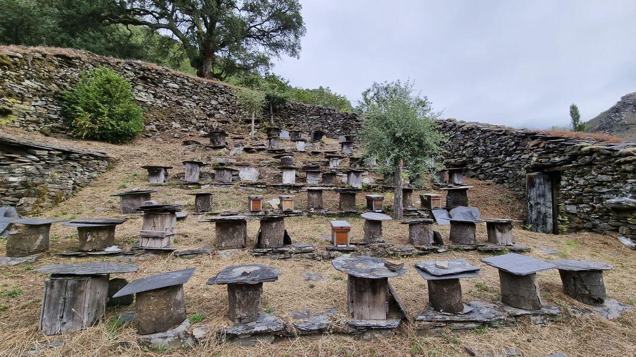 La alvariza de Barxas yla miel ecológica de Manuel Macía.O castiñeiro de Pumbariños, unha árbore monumental