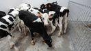 Terneros de recría en la granja Gayoso Castro
