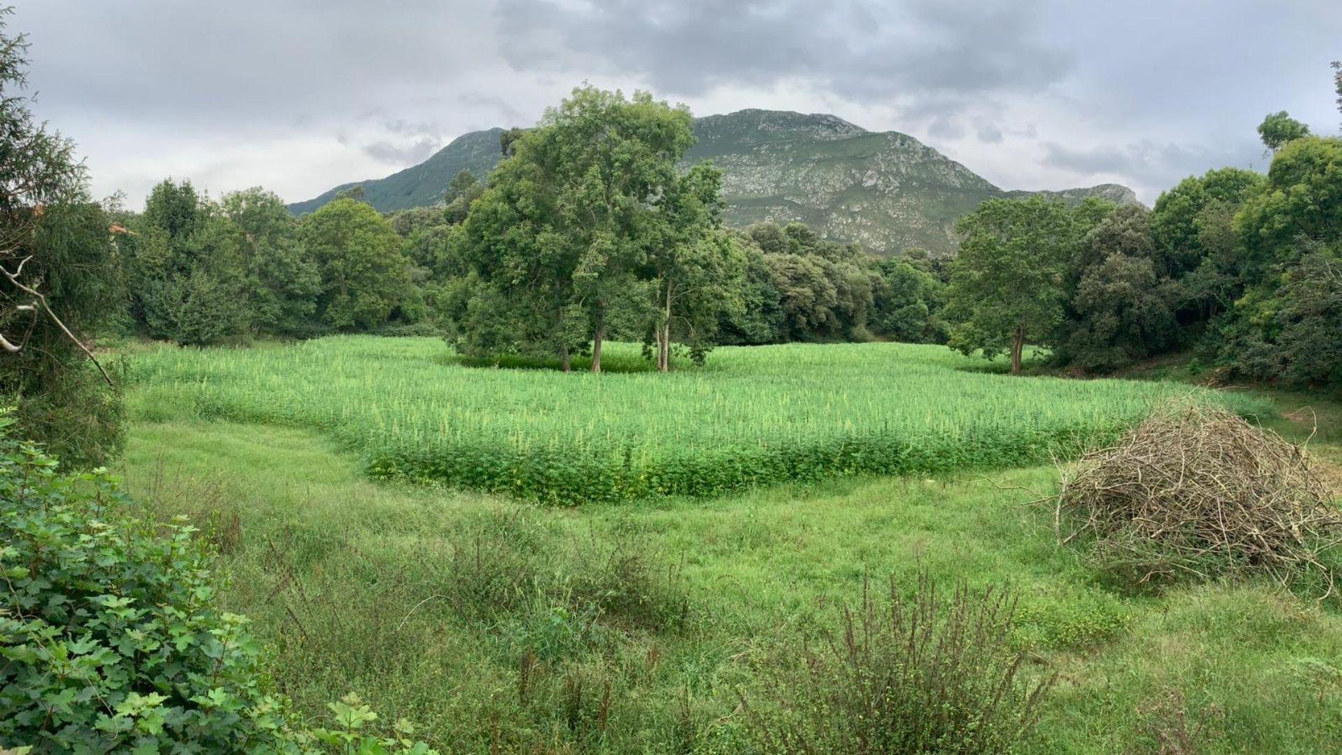Plantación de cáñamo industrial en Ribadesella, de Cañamo Valley