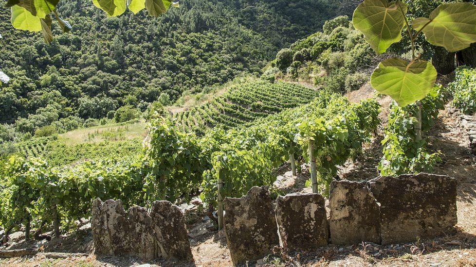 Las antiguas viñedas vuelven a producir tras el abandono