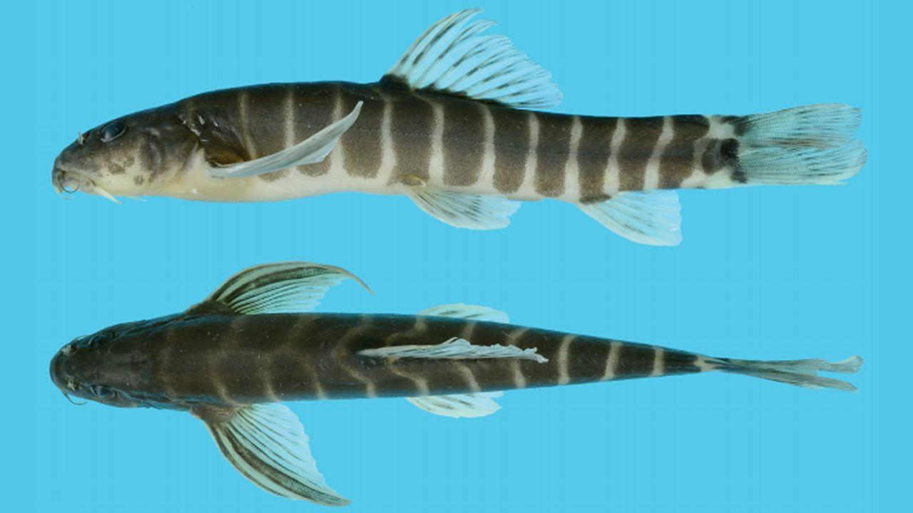 El «Malihkaia aligera», un pescado descubierto en Myanmar.