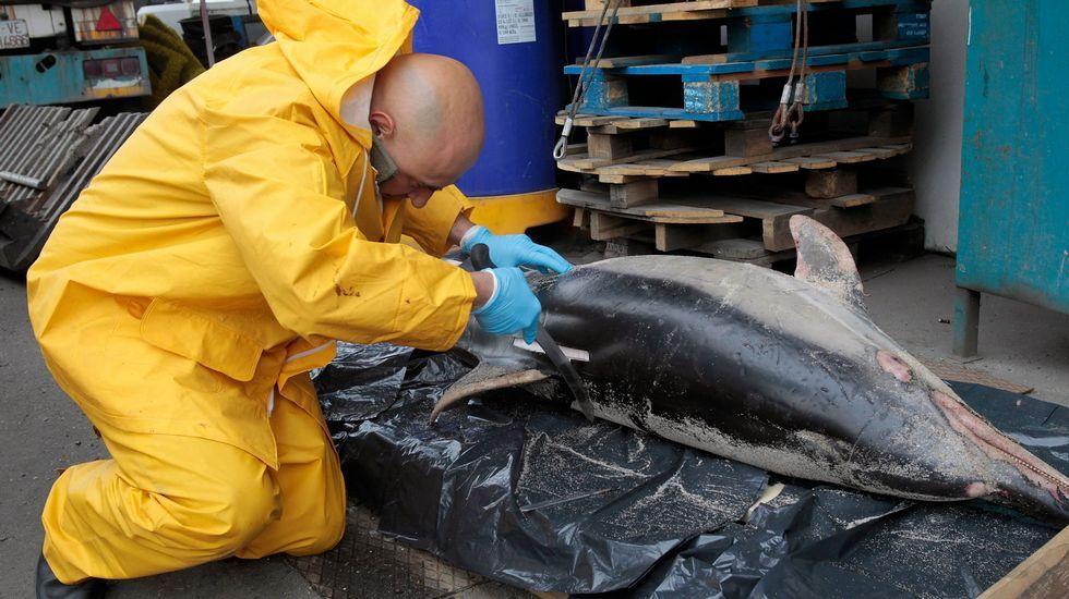 Un trabajador del Cetmar analiza un delfín muerto