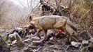 Imagen de FAPAS de un lobo con la pata rota