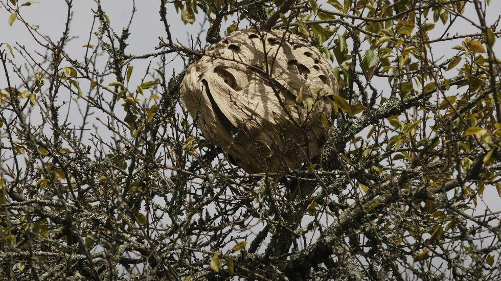 Nido de avispa asiática. Imagen de archivo