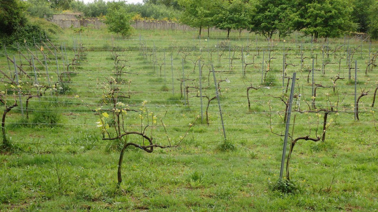 El proyecto Viticast ha desarrollado plantaciones experimentales para predecir enfermedades