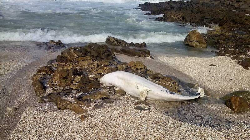 Imágenes de un tiburón peregrino.Los biólogos del Cemma fotografían los arroaces cuando se adentran en la ría de Pontevedra.