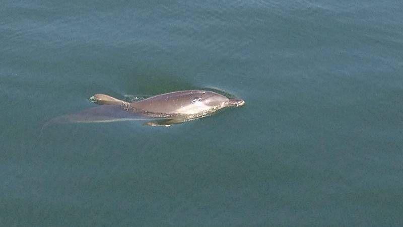 Pepe, el delfín juguetón de Foz.Imagen de la foca en Suevos captada por un aficionado.