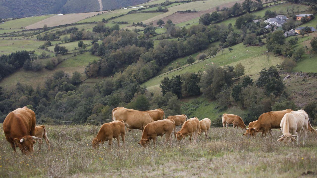 Vacas de carne pastando en el municipio de Cervantes