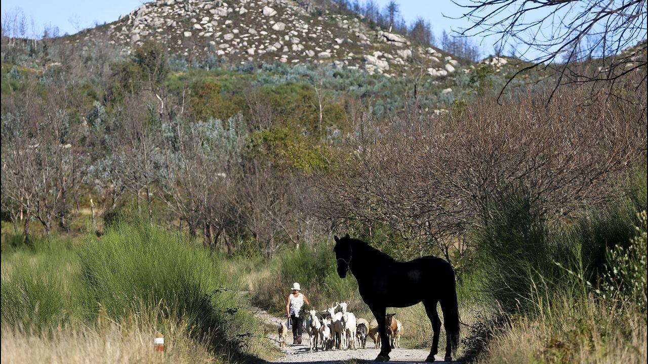 Una mujer cruza con un rebaño de cabras junto a una de las zonas repobladas en Chandebrito