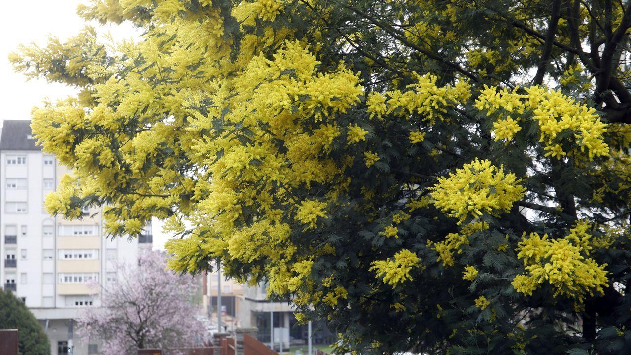 Acacias o mimosas en la Ronda das Mercedes