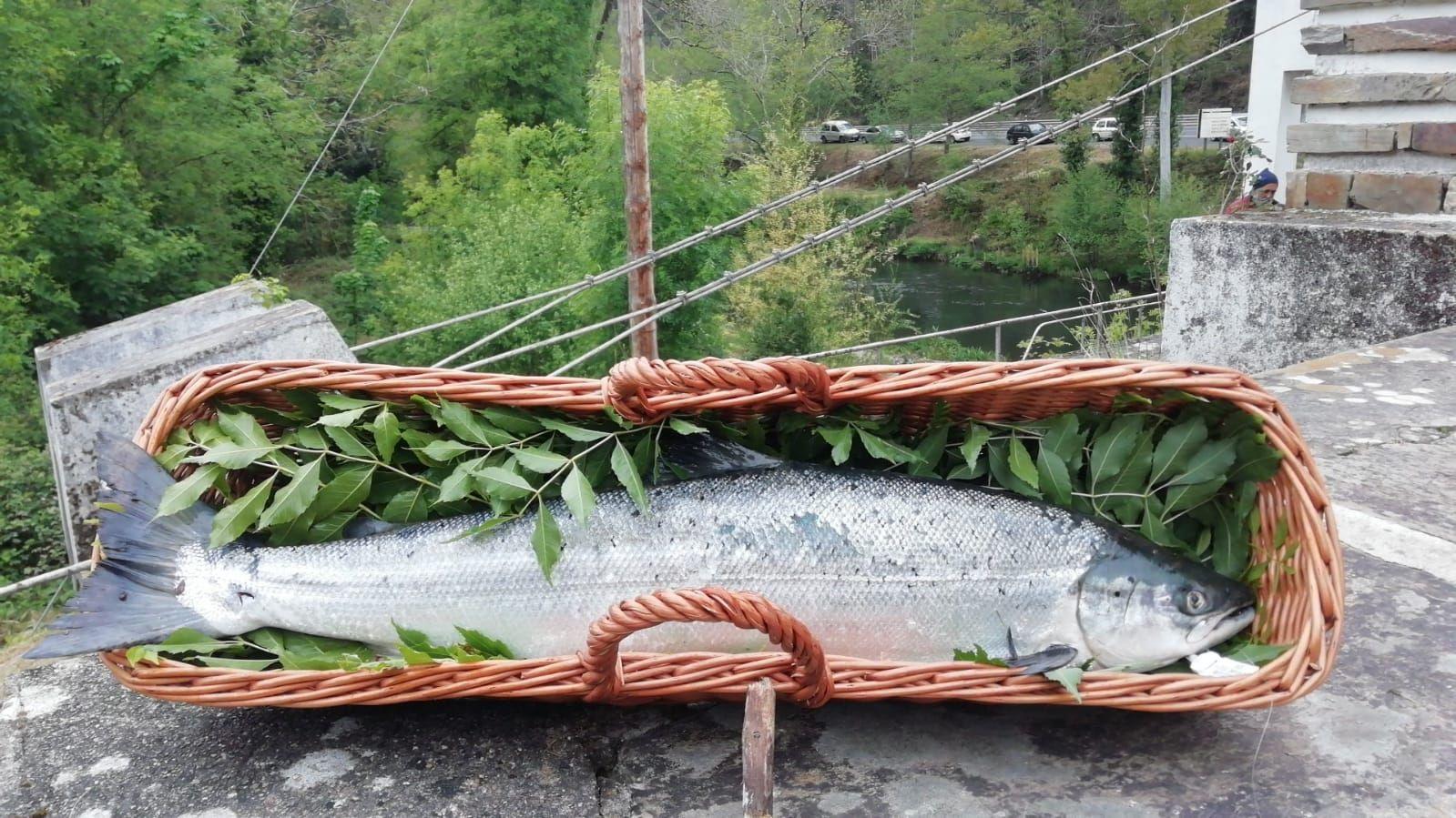 El campanu de la temporada 2021 fue capturado en el río Eo
