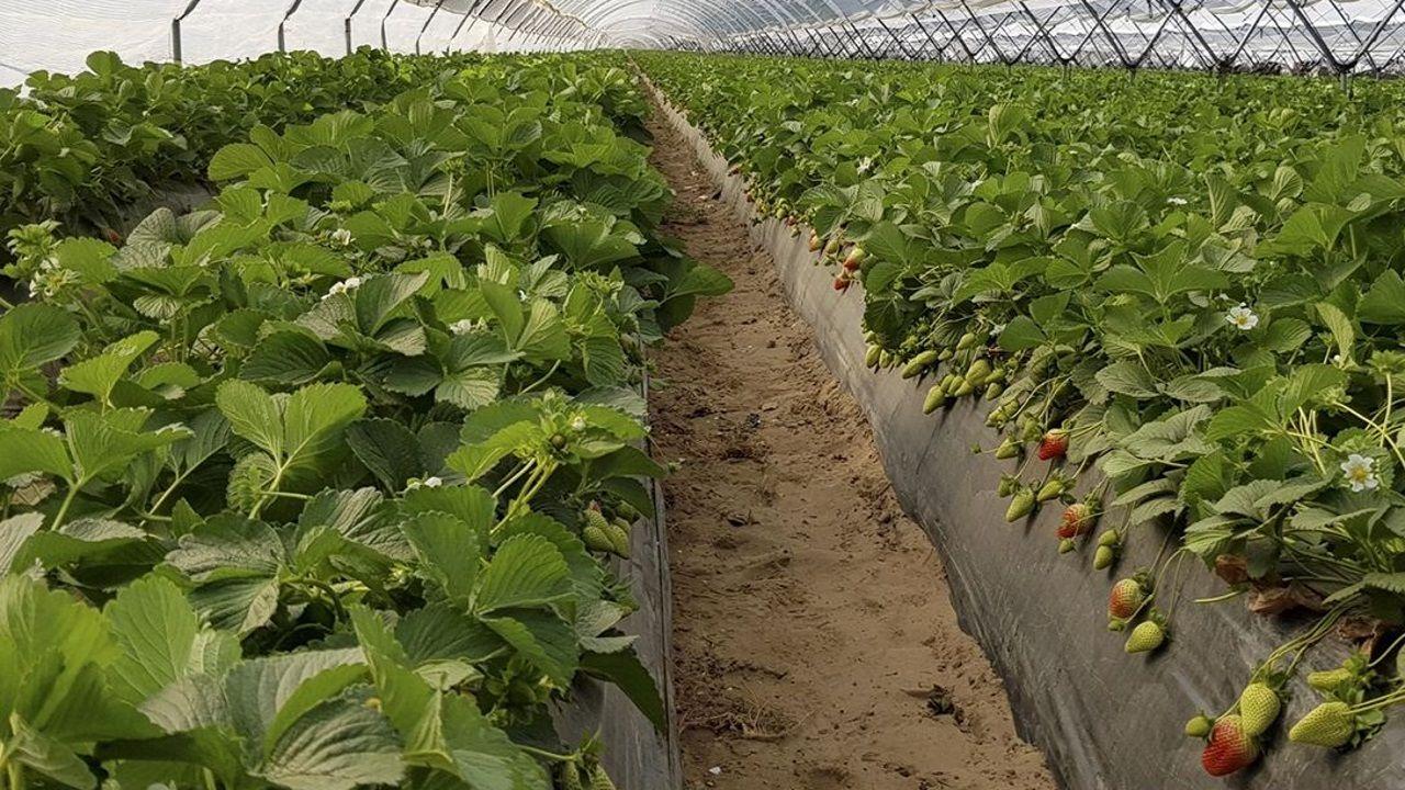 Recogida de la aceituna en el municipio de Quiroga.El cultivo de fresas, como se ve en la imagen, es una de las alternativas que pueden aprender