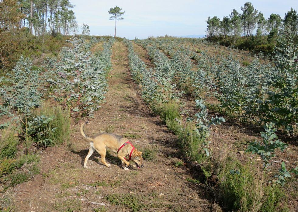 Nueva plantación de eucaliptos en el Monte da Serra, en Chantada.