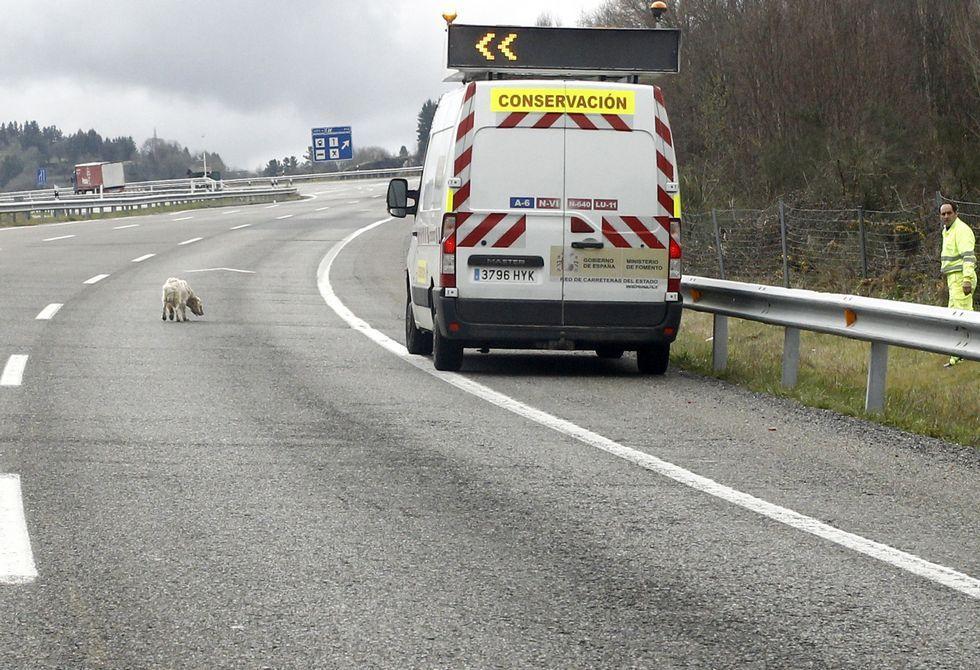 El operario, siempre en el arcén, intentaba convencer al animal de que se acercase al vehículo.