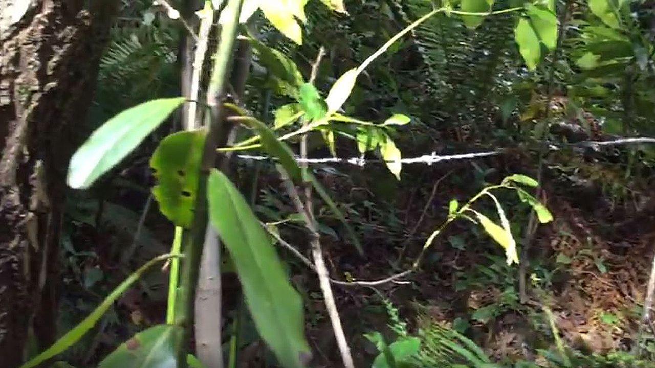 Un alambre de espinos cruzando el camino a la altura del cuello de los ciclistas.Aníbal Vázquez, de IU Mieres