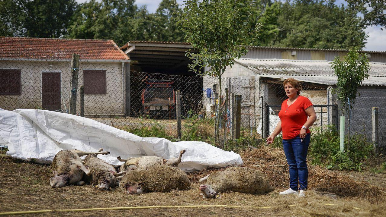 Ovejas supuestamente atacadas por lobos