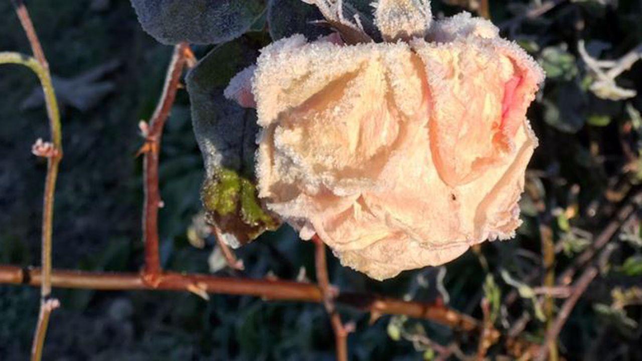 Imagen de una flor durante la helada en Asturias