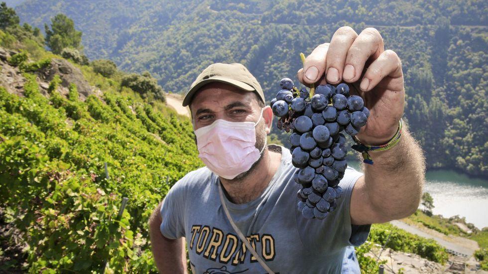 Recogida de la aceituna en el municipio de Quiroga.Marcelino Álvarez, muestra un racimo de brancellao en esta vendimia en un viñedo de Amandi