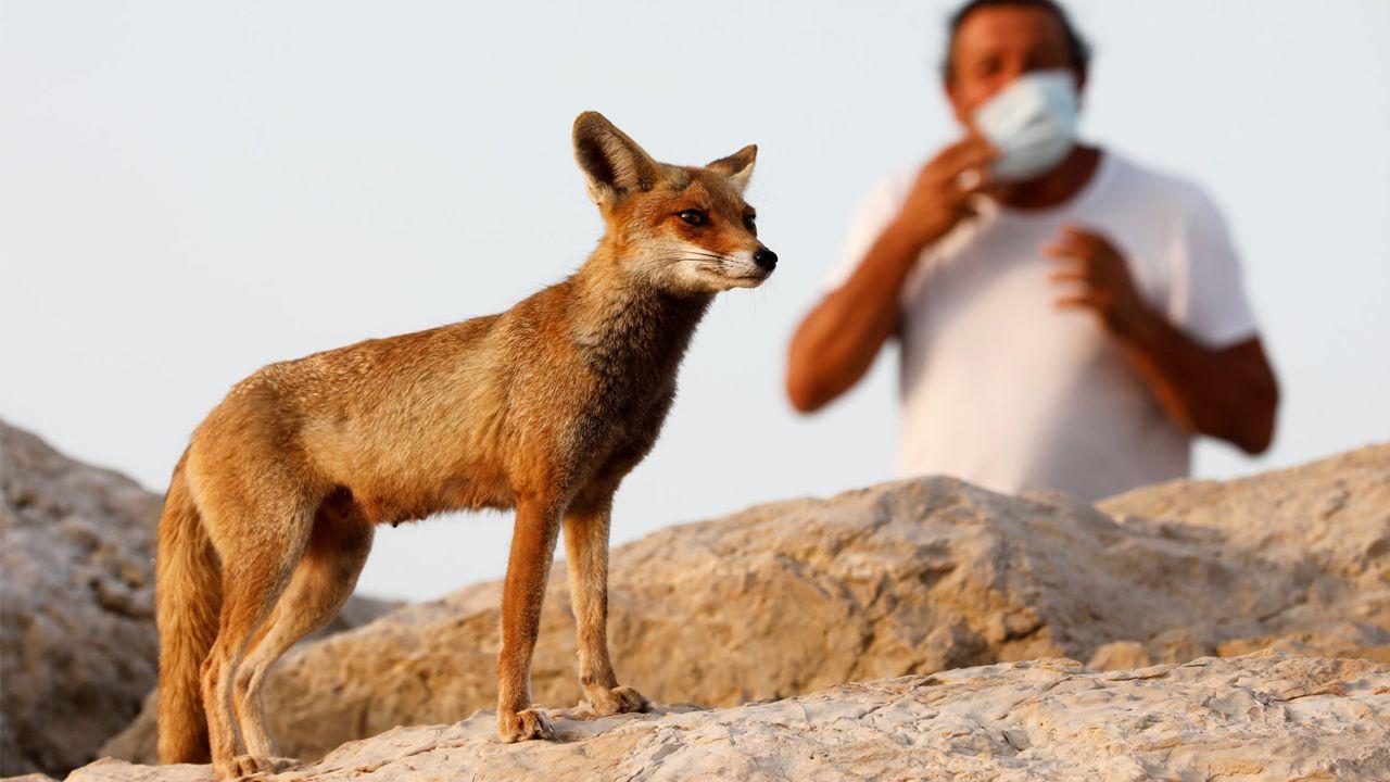 Un hombre con máscara protectora observa a un zorro en la ciudad de Ashkelon, en el sur de Israel