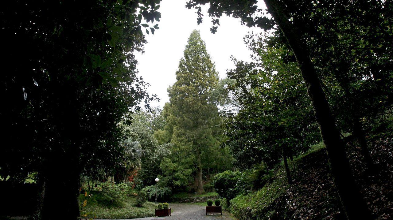 Metasecuoya del jardín botánico de Lourizán