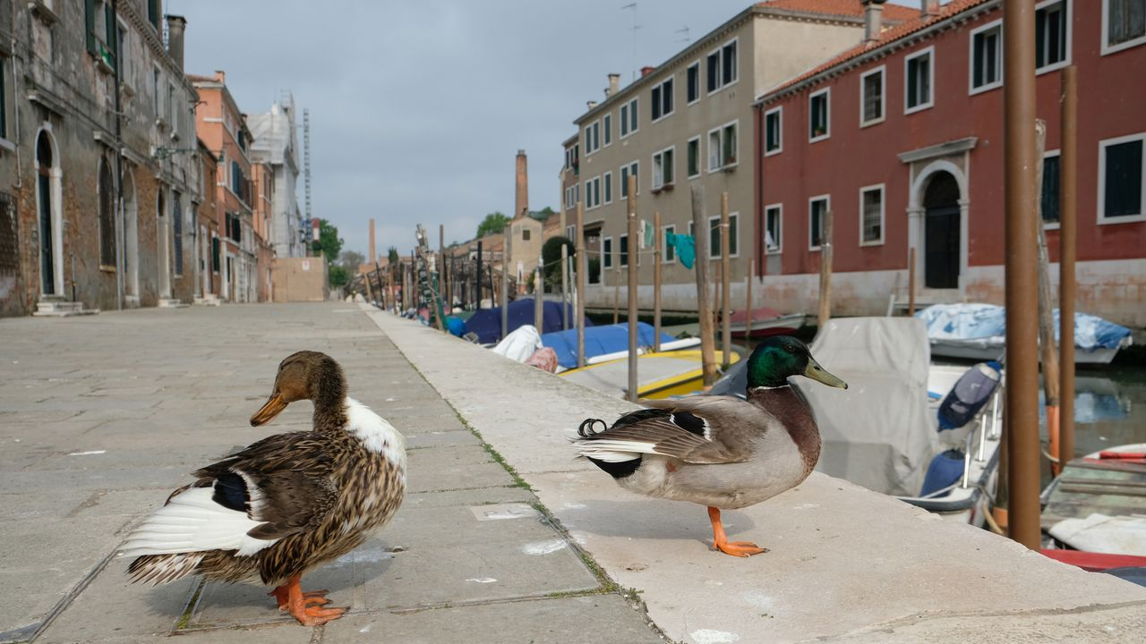 Los patos campan a sus anchas en las calles de una Venecia desierta