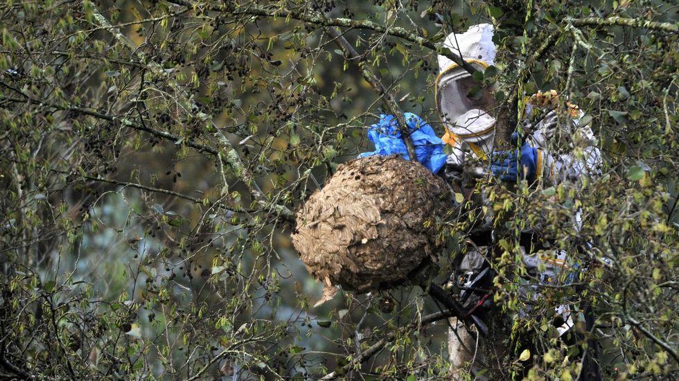 COMARCAS | Lucha contra la plaga de avispa velutina