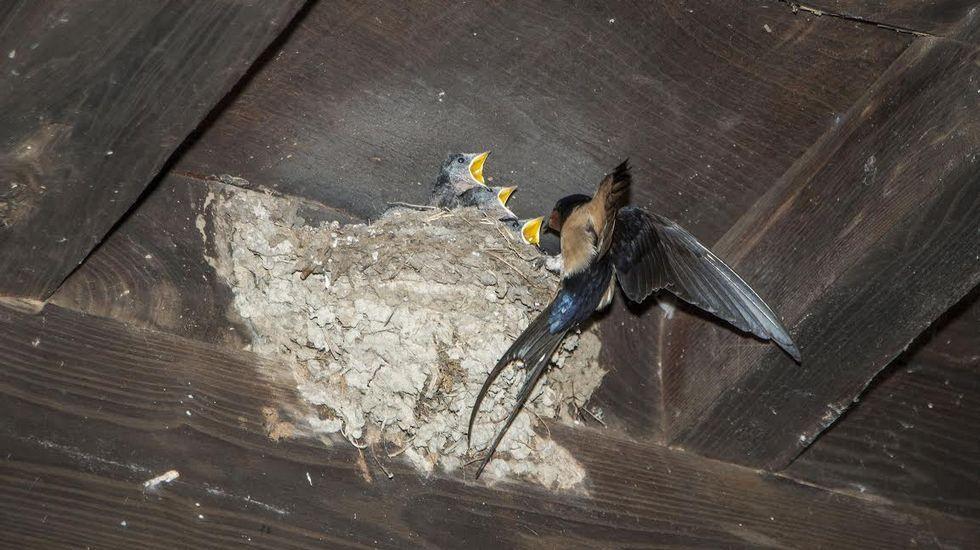 Avifauna de Monforte en imágenes.Papuxa común capturada no 2007 durante unhas xornadas de anelamento de aves en Bóveda.