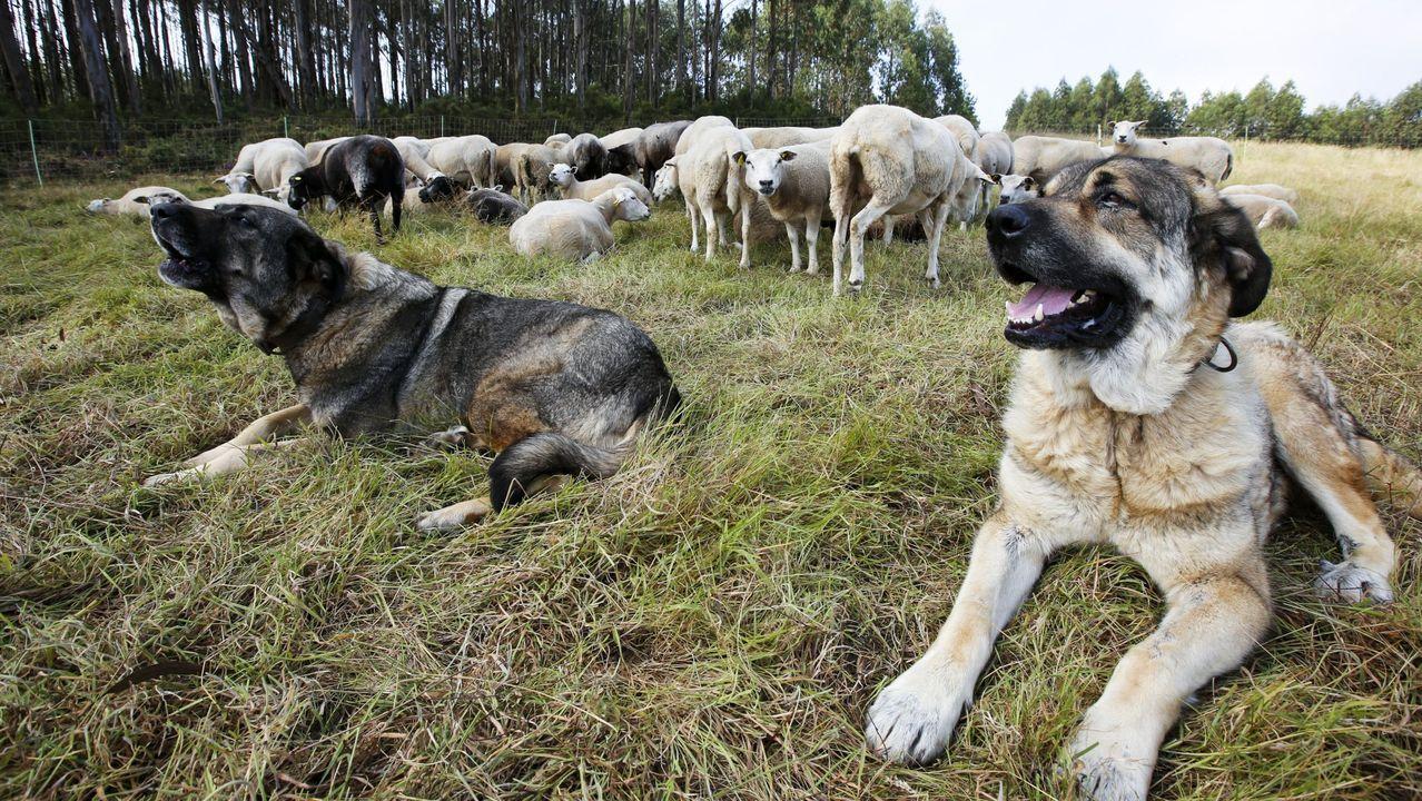 Un par de mastines protegen un rebaño de ovejas