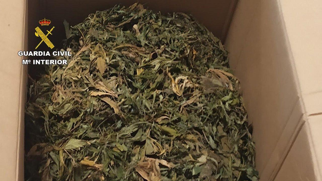 Parte de los 50 kilos de cogollos y 300 plantas confiscadas en una casa en Outeiro de Rei y Lugo.