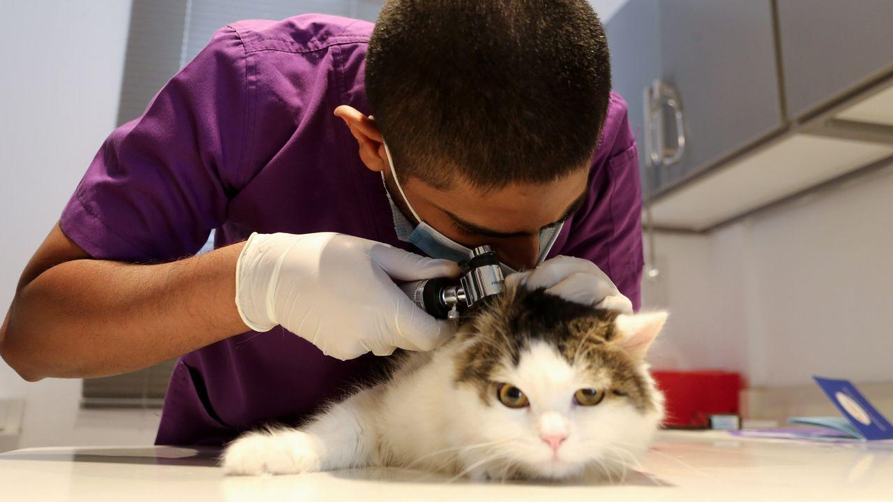 En Riad, un veterinario revisa un gato usando mascarilla
