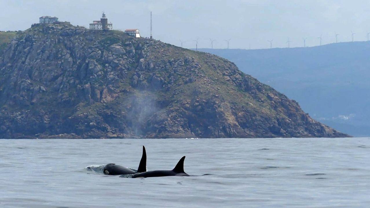 Orcas el pasado viernes en Fisterra.Orcas el pasado viernes 5 de julio en Fisterra