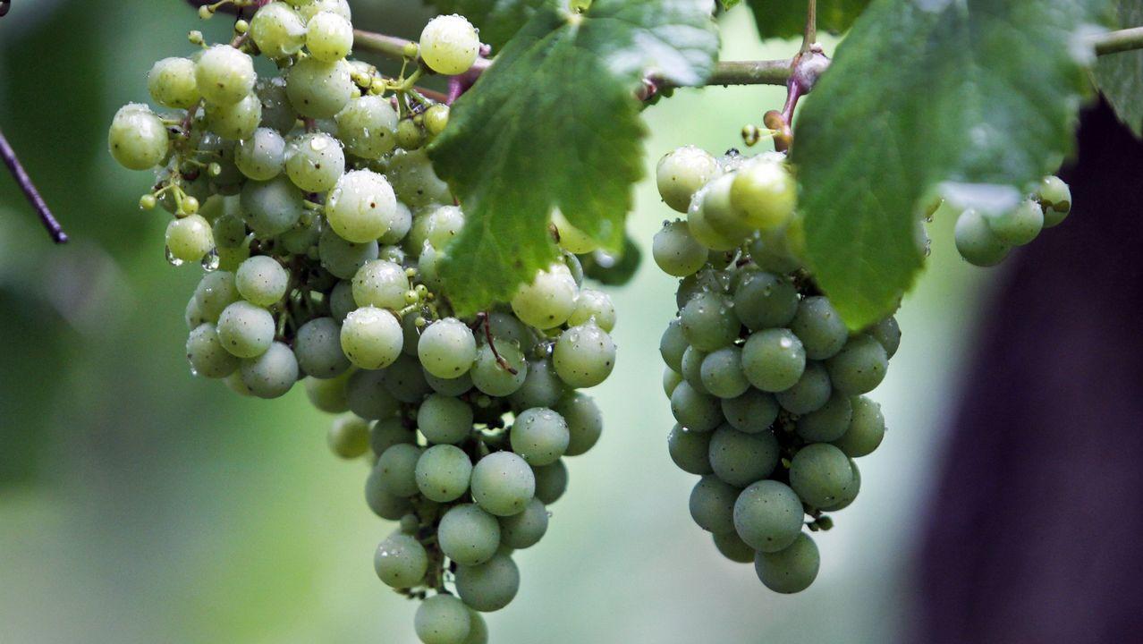 Elaboración de aceite con pepitas de uvas en la Misión Biolóxica.Combatiendo el calor con un helado en Covas, Viveiro