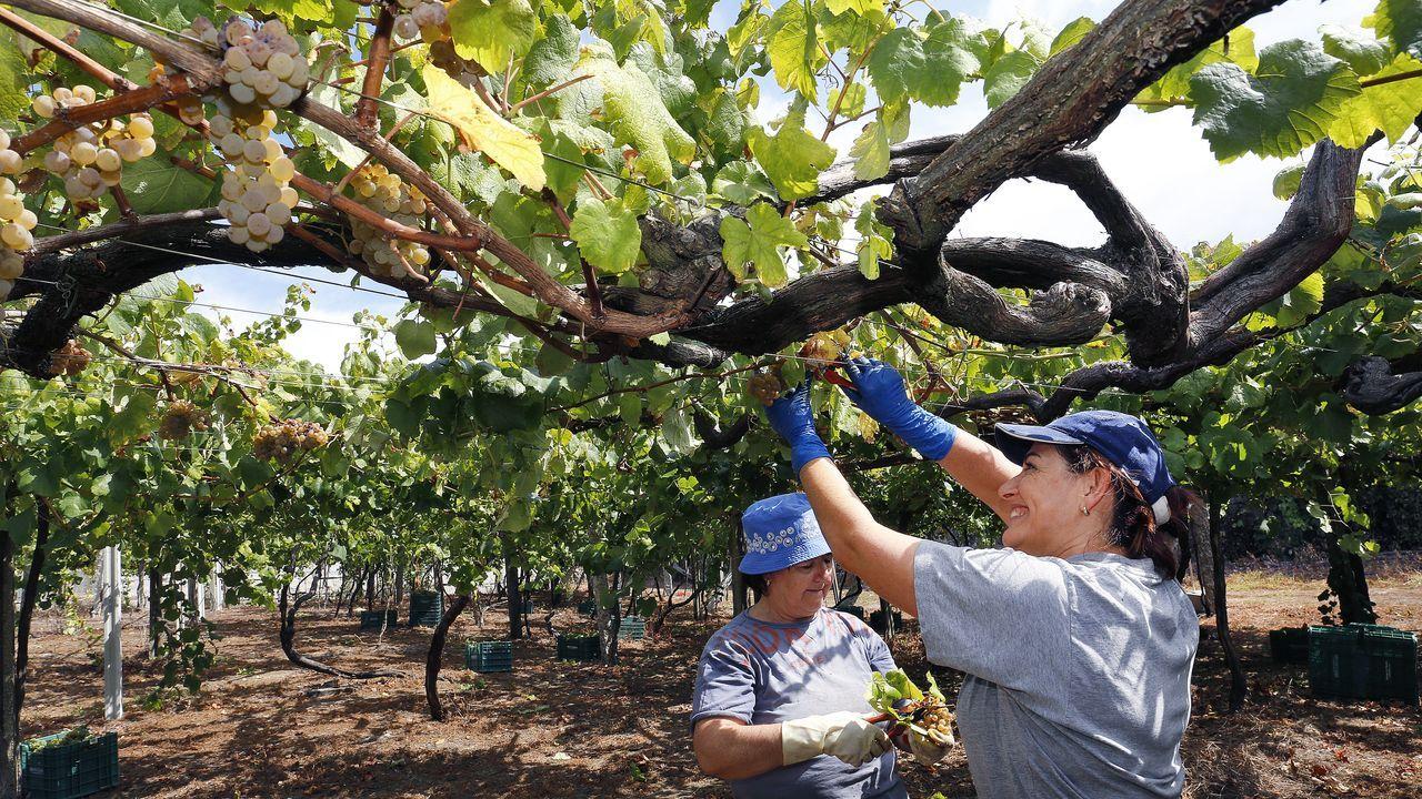 La cosecha de la uva en O Salnés.Urbano VArela, con gorro, fue el ayudante de cocina y  Iván Pipo Álvarez (el de la derecha) fue uno de los comensales y se encargó de inmortalizarlo en fotografías