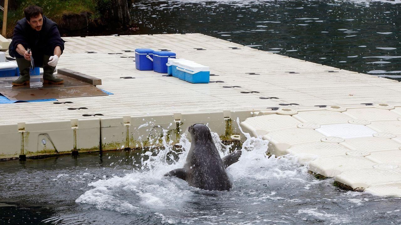 acuario.Agua del mar. Los tanques donde residen una quincena de focas están en pleno acantilado y se nutren del agua marina. «A súa temperatura cambia segundo a estación. Entran invertebrados de fóra para vivir aquí», dice el director técnico del Aquarium, Paco Franco