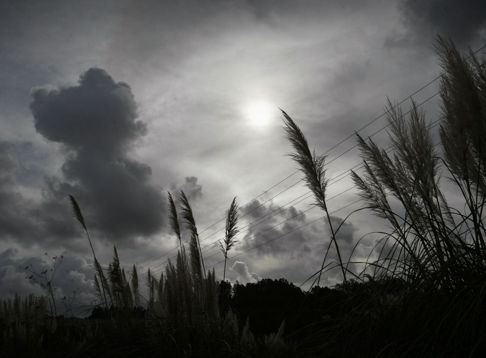 Rubiáns es otra de las zonas invadidas ya por los penachos de la hierba de la pampa.