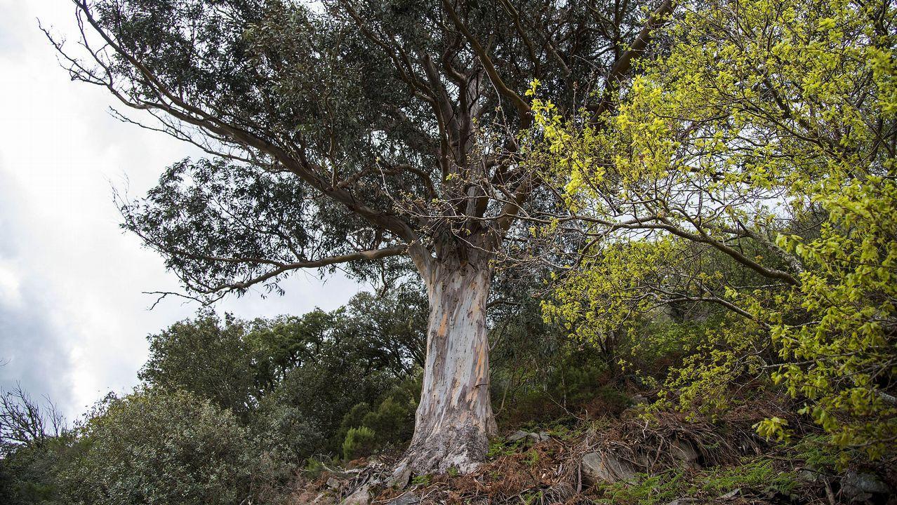 El Eucalipto do Médico, que da nombre a la ruta, fue plantado hace alrededor de un siglo por un médico conocido por don Gumersindo
