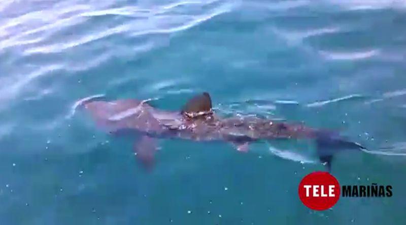 Avistan un tiburón peregrino en Oia.Un buzo desentierra la pieza localizada hace una semana.