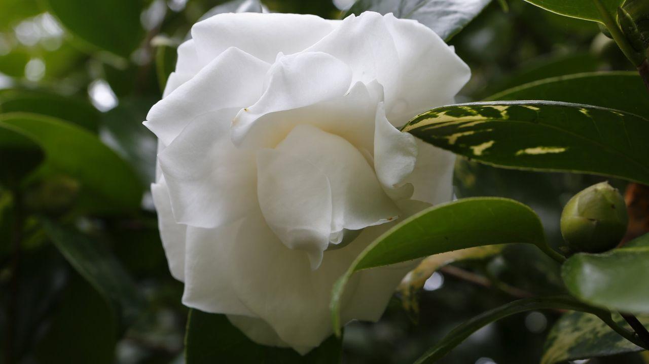 Flor de Camelia compuesta?¿¿?